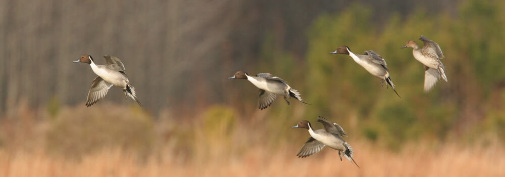 Pintails Landing in Restored Wetland 2005