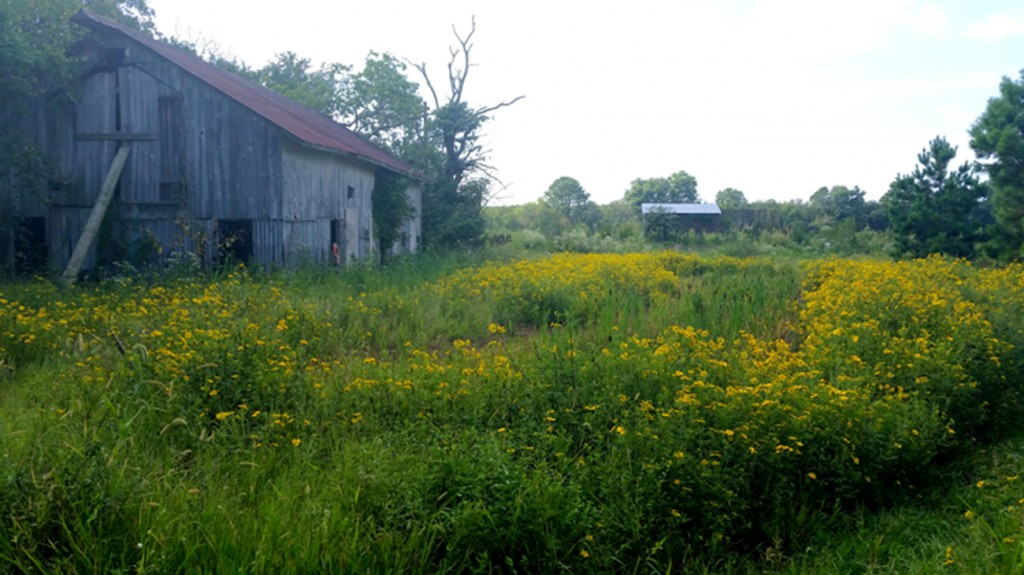 This shows the barn that the vultures use to nest in, their favorite dead roosting tree, the rain garden full of tickseed sunflowers, and the Healy observation blind.