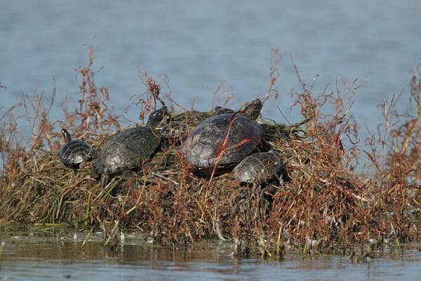 CWH Turtles 208