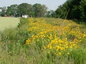 IMGP0169.jpgbuffer strip meadow