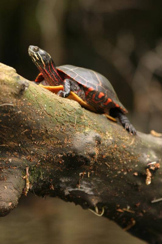 Painted turtle 105