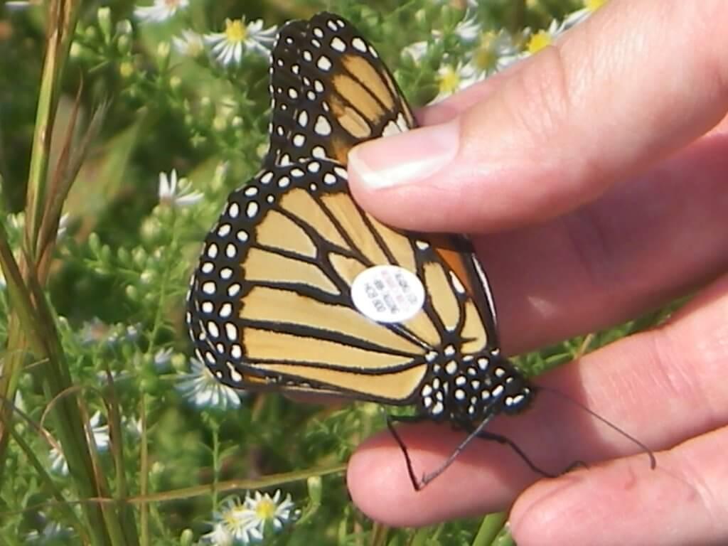andi with monarch tagIMGP0062