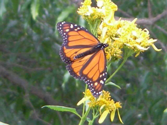 monarch on wingstem