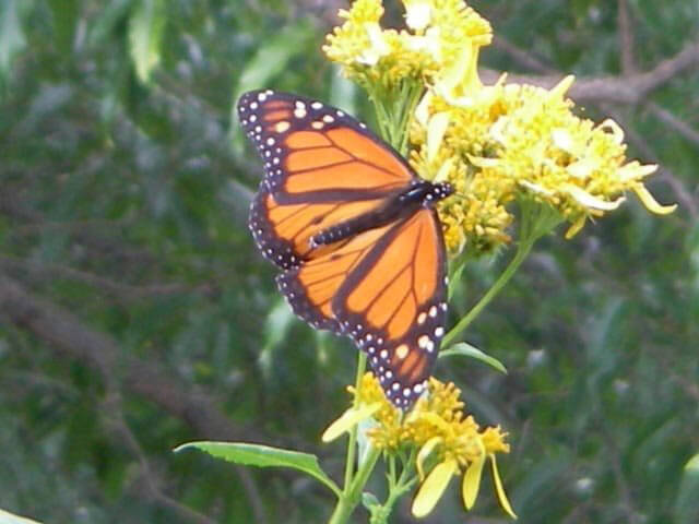 Monarch on wingstem