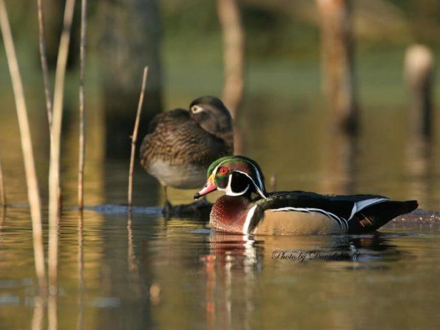 Wood Duck by David Judd