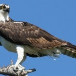 Osprey-Maryland