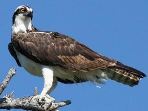 Osprey-Maryland