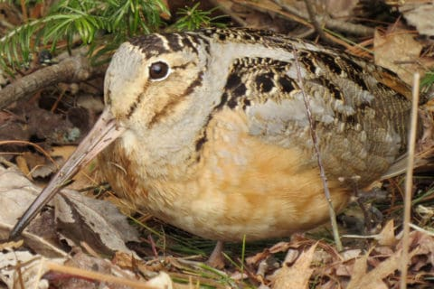 The American Woodcock, And Why We Should Be Cutting More Trees – Cool Green Science
