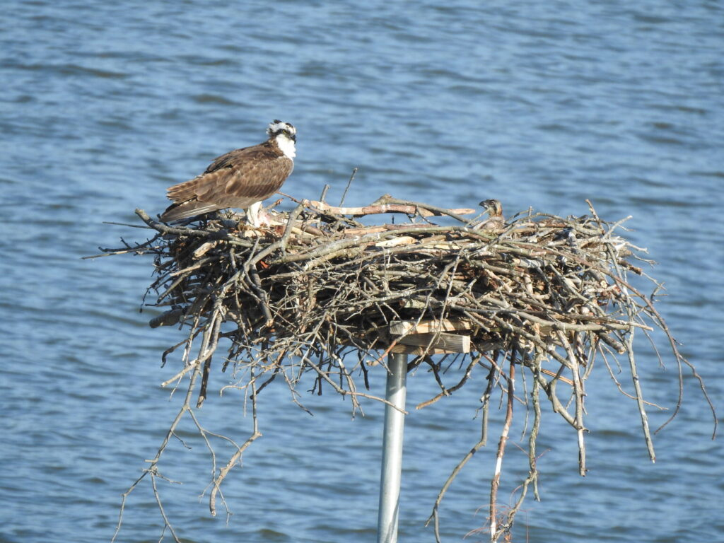 This image has an empty alt attribute; its file name is Chesapeake-Wildlife-Heritage_An-Osprey-and-its-chick-nest-on-a-platform-constructed-by-Chesapeake-Wildlife-Heritage.-1-scaled-1024x768.jpg